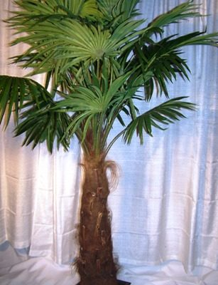 fan leaf palm tree 7880